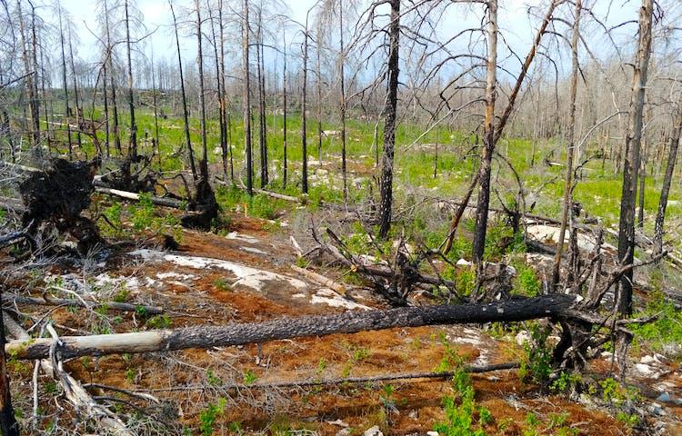 En skog där det har brunnit, viss ny grönska syns.