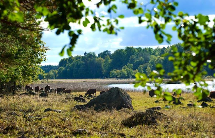 På en strandäng betar och vilar flera kor. I bakgrunden finns vatten och mycket vass vid vattenbrynet.