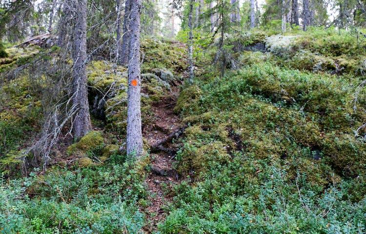 Rötter som bildar som trappsteg uppför en höjd längs leden.