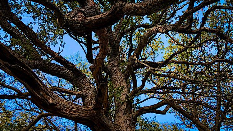 Stor gammal ek med kraftiga grenar likt armar.