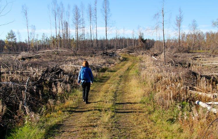En person vandrar bortåt längs en traktorväg. På sidorna ligger träd längs marken.