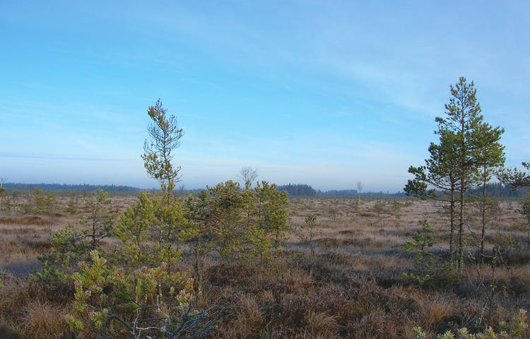 Vidsträckt myrmark med tunna unga tallar och skog långt bort i bakgrunden.