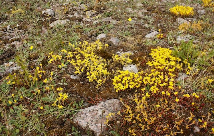 Närbild på små gula blommor som växer bland större stenar.