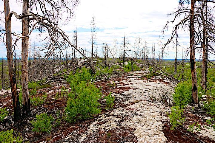 Lövsly som växer bland stående och liggande brända träd, en bergshäll med lite vegetation på.