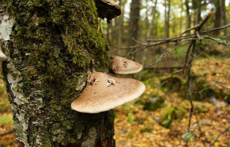 Närbild på två tickor som växer på ett träd. I bakgrunden är det skog.
