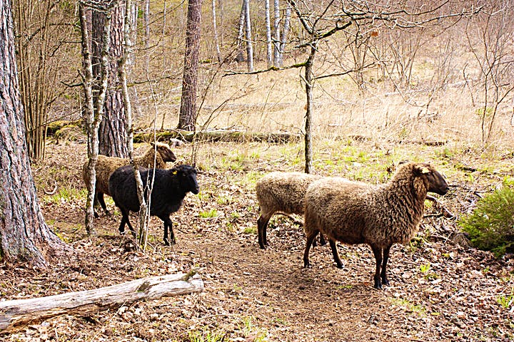 En flock får går på en stig i skogen.