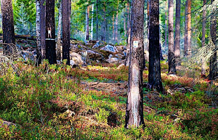 Slingmarkeringar på brända stammar.