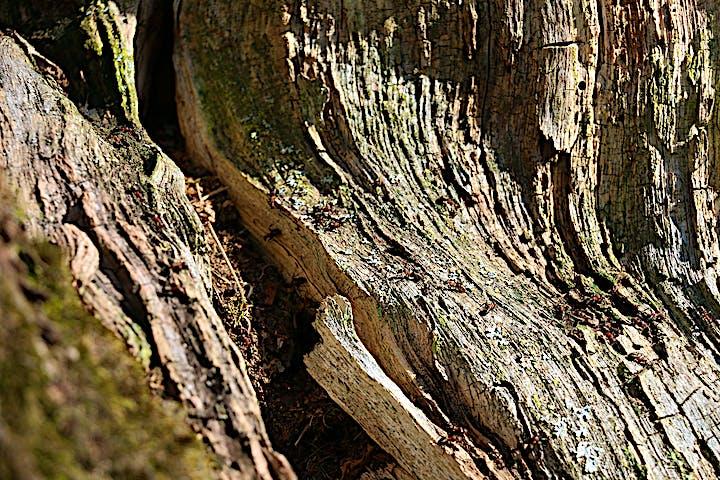 Närbild på ett dött träd där myror bosatt sig.