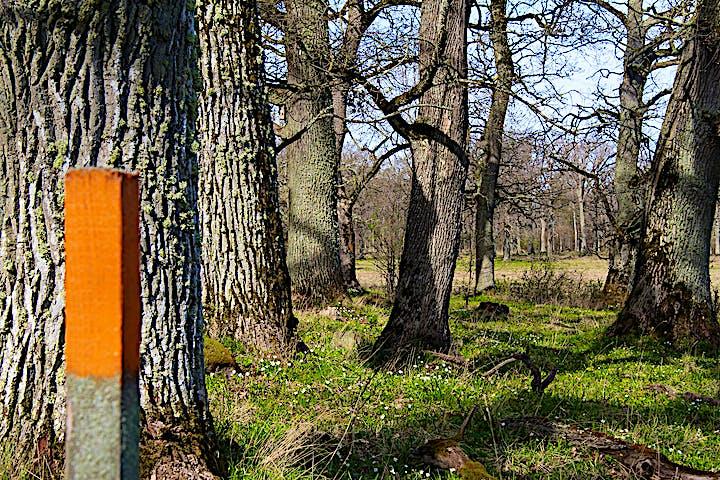 Stolpe med orangemarkering bland stora, grova gamla träd.