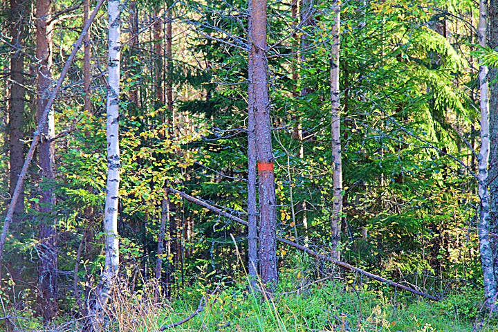 Orangemarkerat träd visar vägen i skogen.