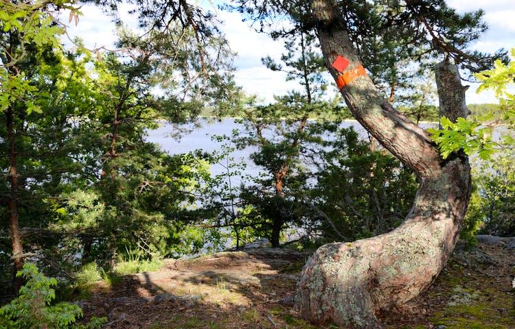 Krokigt växande träd med orange ledmarkering.