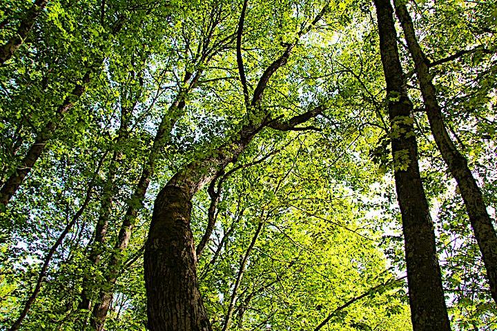 Grönskande lövträd fotade underifrån.