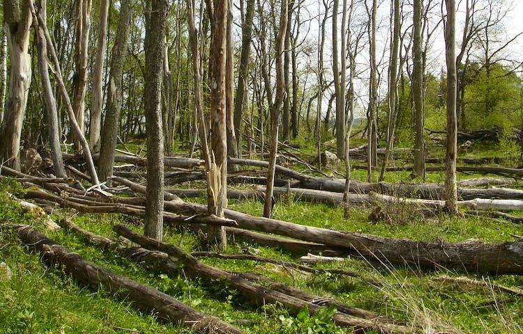 Döda träd får ligga kvar på marken och brytas ner i naturens takt.