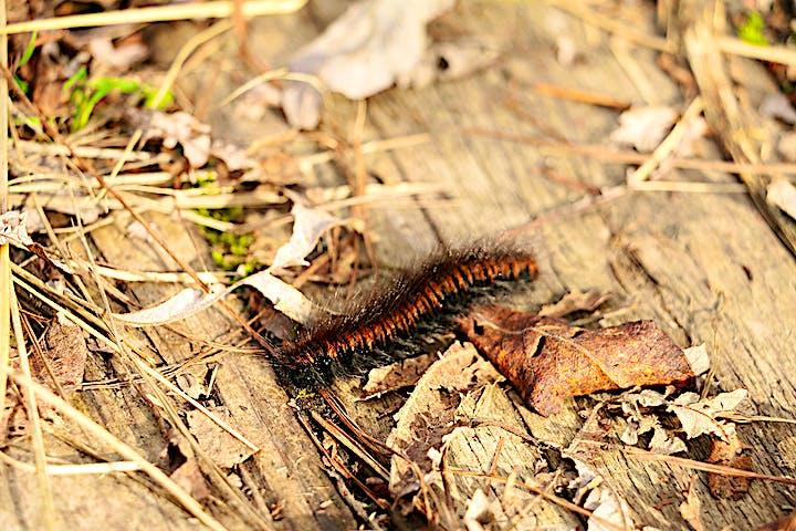 En brun och svart lite hårig larv bland bruna löv på marken.