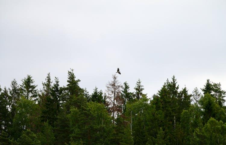 En stor fågel flyger över skogstopparna.