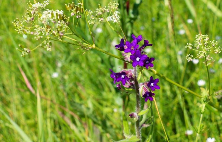 Lila blomma ståtar i gräset.