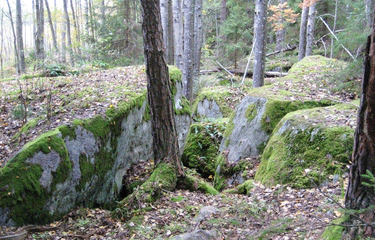 I skogen ligger flera stora stenblock med träd som växer emellan.