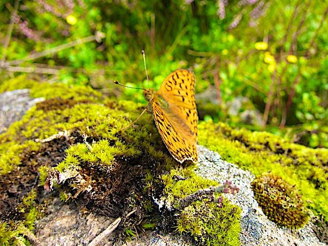 Fjäril på mossbeklädd sten.