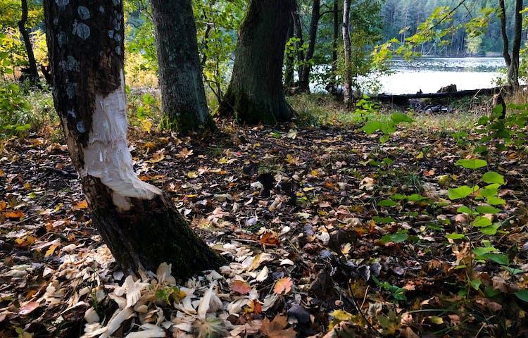 Ett, av bävrar, gnaget träd med sjö i bakgrunden.