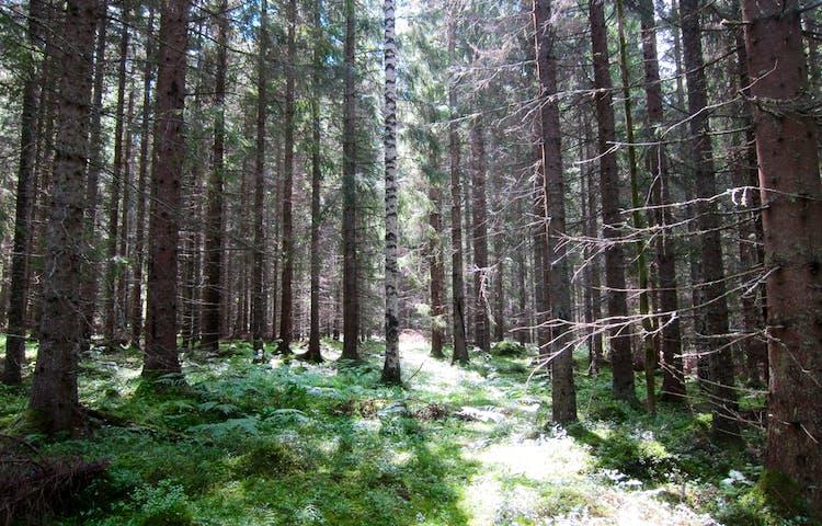Solen letar sig in mellan trädtopparna i tät skog.