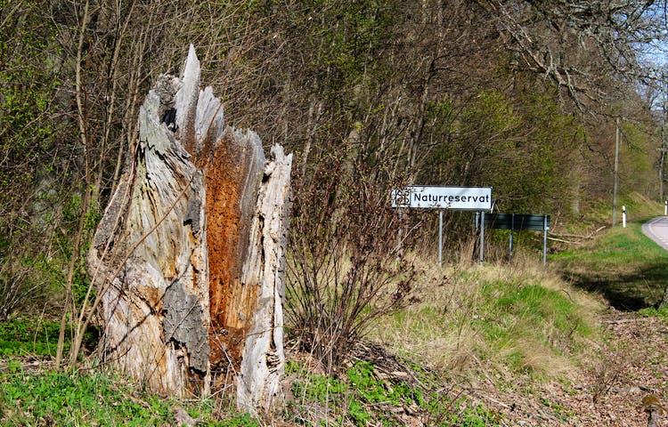 En död grov ihålig stubbe/trädstam. Bakom syns en skylt som visar att det är ett naturreservat.