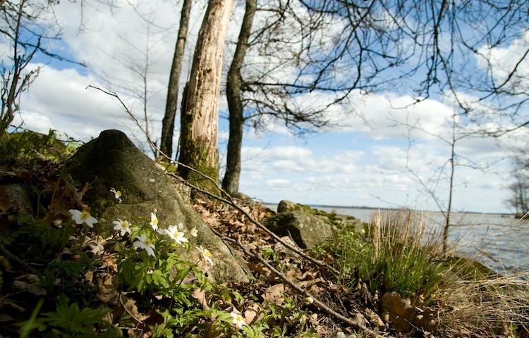 Bild fotad vid marken med vitsippor vid en sten i förgrunden. Några träd skjuter upp ur marken och vattnet skymtas lite längre bort.