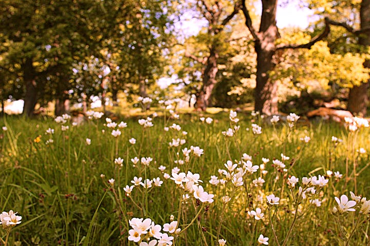 Mandelblom som blommar bland gräs.
