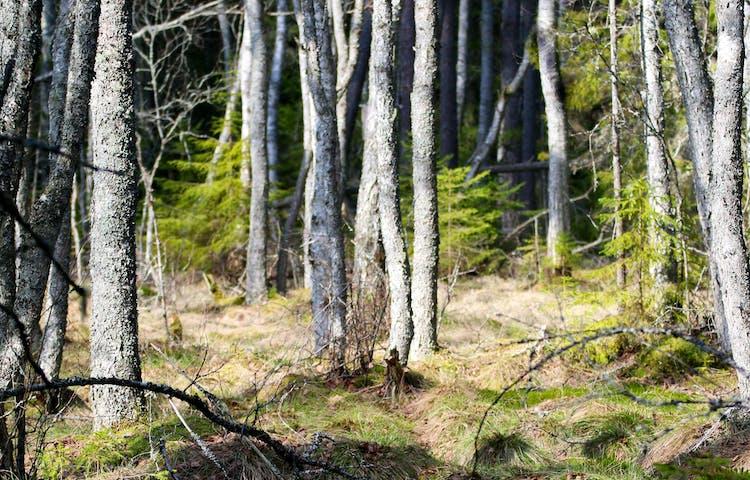 Trädstammar.