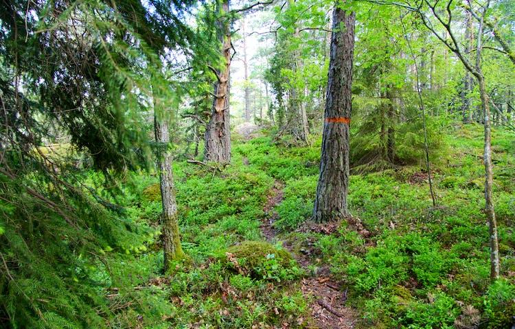 Smal stig upp för en brant kantad av barrträd och lövträd.