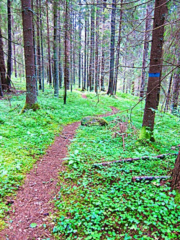 Blåmarkerat träd visar vägen längs stig i skogen.