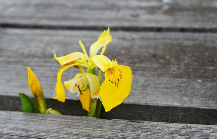 Gul blomma har hittat upp mellan träplankorna på spången.