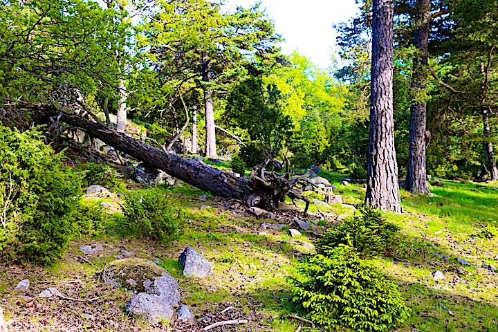 En rotvälta av en tall ligger i skogen.