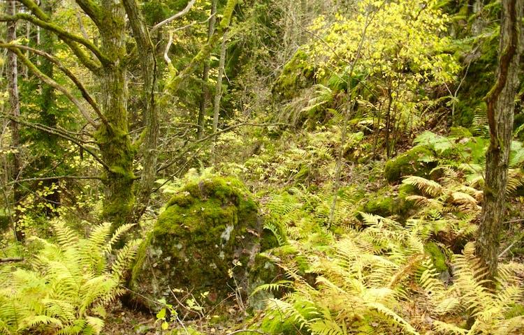 Stor sten omgärdad av ormbunkar.