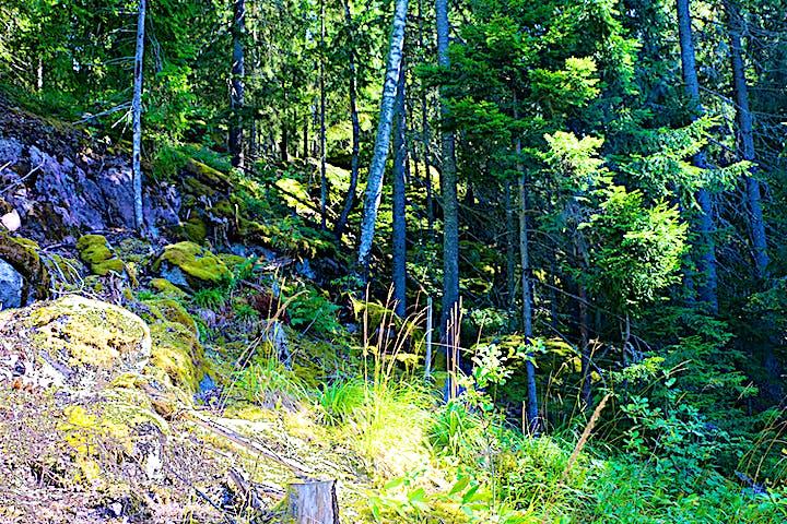 Stensluttning med granar och en och annan björk.