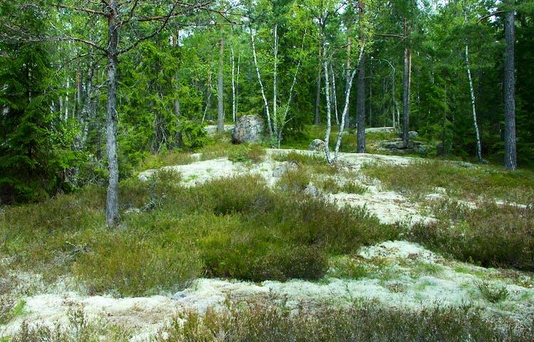 Hällar täckta av lavar, mossa och ljung. Små granar, tallar och björkar växer på marken.