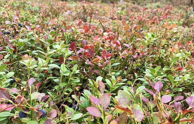 I reservatet växer blåbärs- och lingonrisen tätt. Foto: Lena Malmström