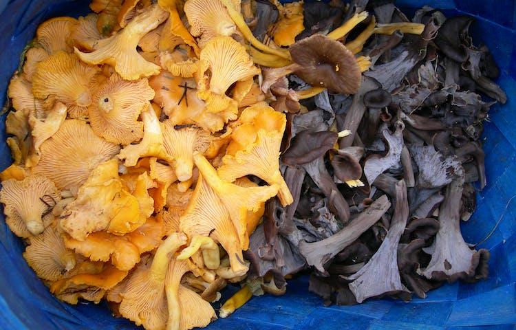 Blandade svampar i en korg fotade uppifrån.