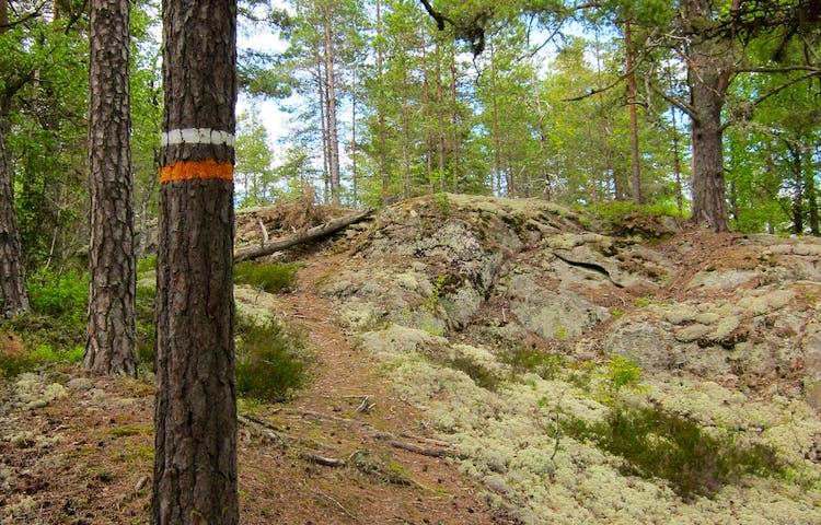 Träd med orange och vit markering. Bredvid letar sig stigen upp över en klippa.