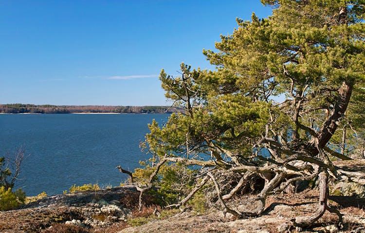 På en stenhäll vid vattnet växer en mycket knotig tall. I bakgrunden finns det skog.