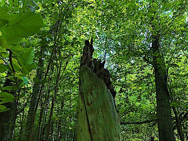 Ett dött tröd med gröna träd runt omkring.