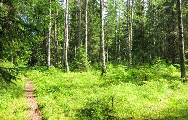 Stig i grönskande skog.