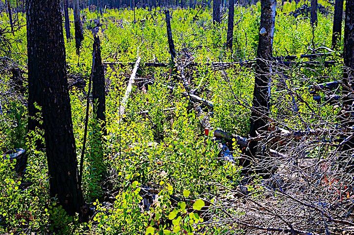 Brända trädstammar och grön björksly. Lite dolt, en orange stigmarkering.