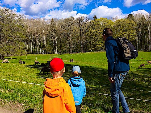 En familj tittar på betande får.