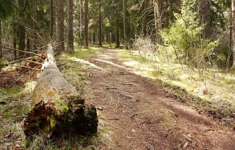 En bred skogsstig med flera rötter går genom skogen. Träden står tätt på båda sidorna av stigen och på ena sidan ligger en trädstam på marken.