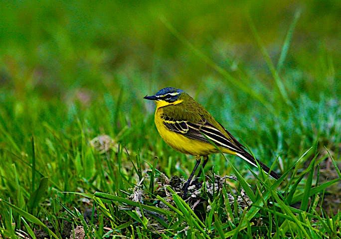 Fågeln gulärla sitter i gräset.