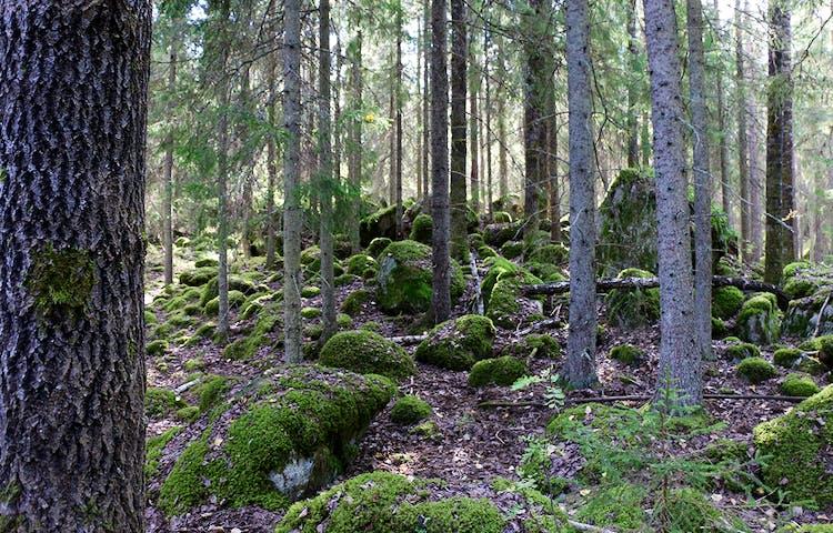 Mossiga stenar bland granstammar.