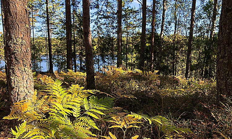 Vy genom tallskogen ner mot Dammstakärret.