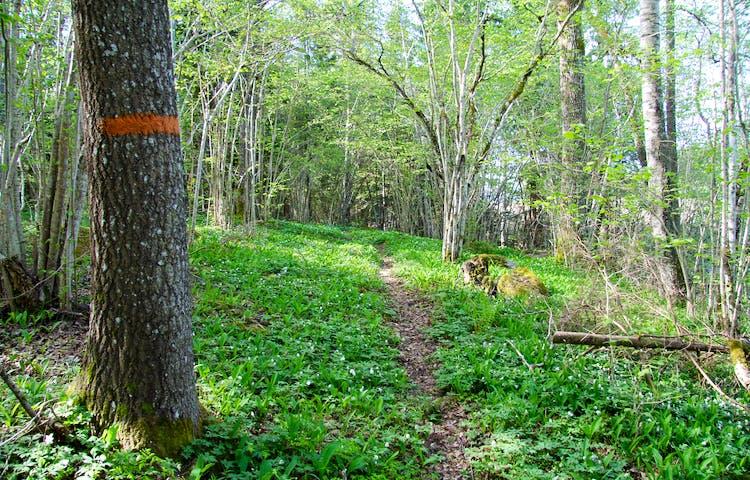 Träd med orange markering intill stig.