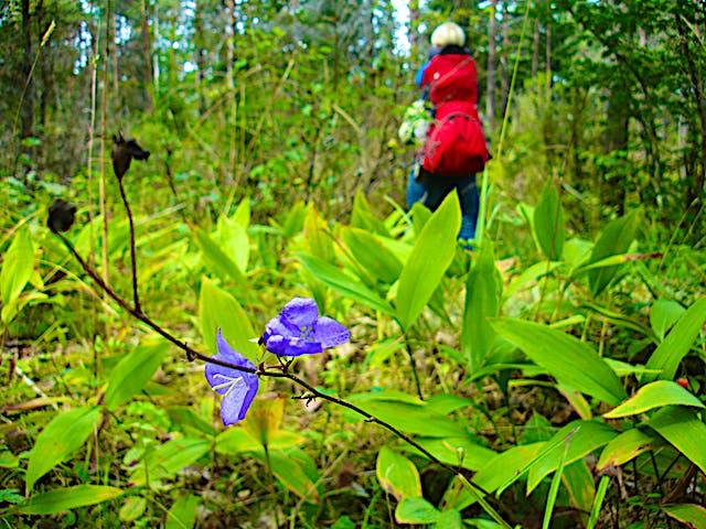 En blåklocka och liljekonvaljblad i förgrunden och en person som går i bakgrunden.