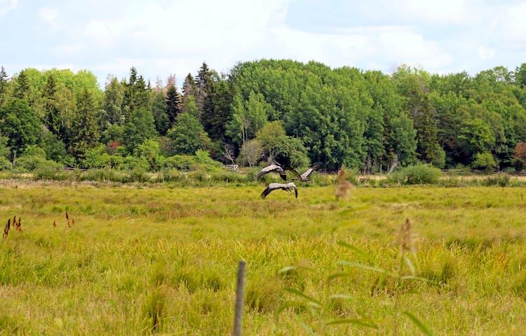 Tre stora fåglar flyger över ängsmark.